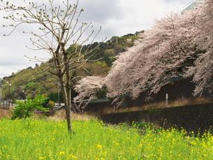 湯河原千歳川の桜の写真素材 [FYI00560438]