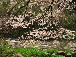 湯河原千歳川の桜の写真素材 [FYI00560439]