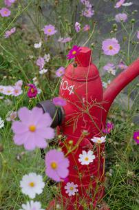コスモスと消火栓の写真素材 [FYI00562516]