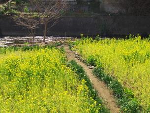 湯河原千歳川の菜の花の写真素材 [FYI00564634]