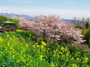 一夜城跡の桜の写真素材 [FYI00564647]