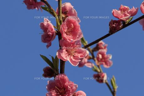 ピンク色の桃の花 - 日本の3月 -の写真素材 [FYI00564658]