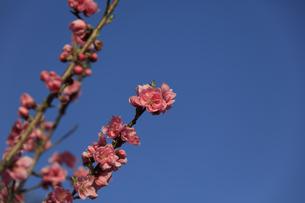 ピンク色の桃の花 - 日本の3月 -の写真素材 [FYI00564659]