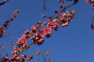 ピンク色の桃の花 - 日本の3月 -の写真素材 [FYI00564660]