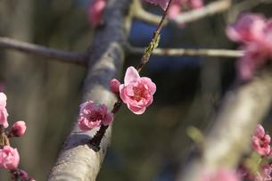ピンク色の桃の花 - 日本の3月 -の写真素材 [FYI00564661]