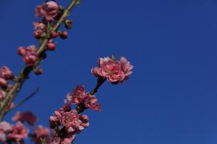 ピンク色の桃の花 - 日本の3月 -の写真素材 [FYI00564688]