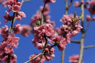 ピンク色の桃の花 - 日本の3月 -の写真素材 [FYI00564689]