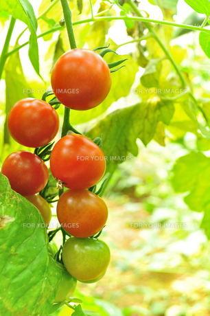 宮古島/果汁園のミニトマトの写真素材 [FYI00564705]