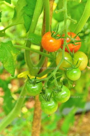 宮古島/果汁園のミニトマトの写真素材 [FYI00564706]