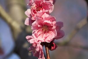ピンク色の桃の花 - 日本の3月 -の写真素材 [FYI00564713]