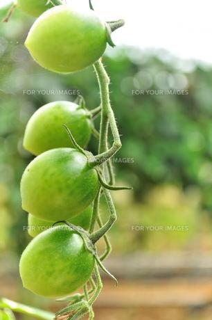 宮古島/果汁園のミニトマトの写真素材 [FYI00564716]