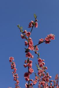 ピンク色の桃の花 - 日本の3月 -の写真素材 [FYI00564721]
