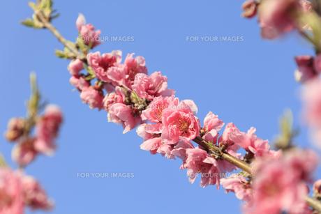 ピンク色の桃の花 - 日本の3月 -の写真素材 [FYI00564722]