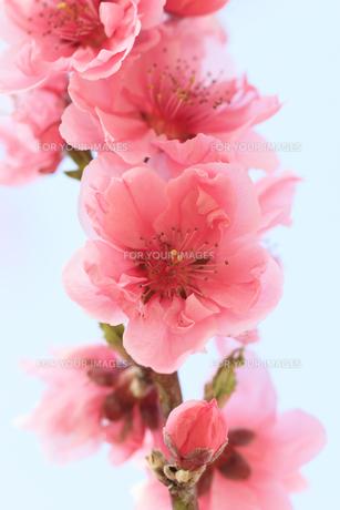 ピンク色の桃の花 - 日本の3月 -の写真素材 [FYI00564723]