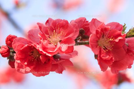 ピンク色の桃の花 - 日本の3月 -の写真素材 [FYI00564724]
