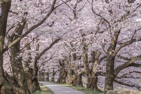 散策路と桜並木の写真素材 [FYI00564745]