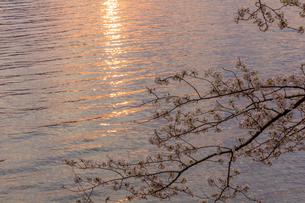 日の出の頃の桜の花の写真素材 [FYI00564747]