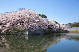 桜満開の彦根城の写真素材 [FYI00564778]
