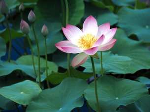 蓮の花の写真素材 [FYI00566946]