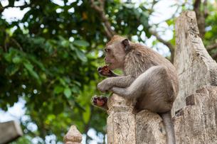 バリ島の猿の写真素材 [FYI00567006]