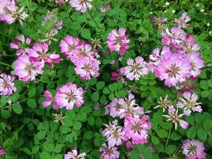 春の野において代表格のレンゲソウの写真素材 [FYI00569239]