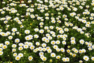 マーガレットの花畑の写真素材 [FYI00569274]