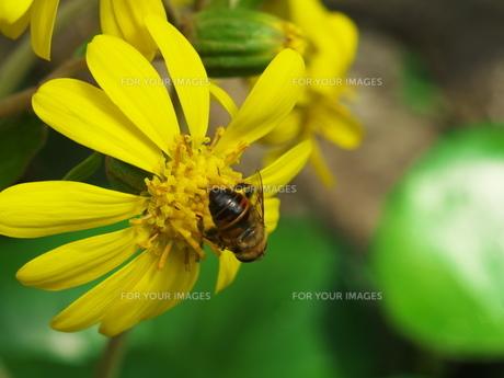 ミツバチのおしりの写真素材 [FYI00569283]