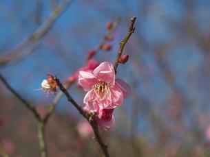 1月10日の梅の写真素材 [FYI00569349]