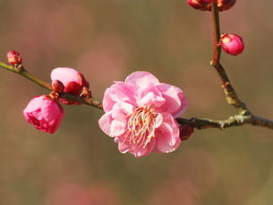 1月10日の梅の写真素材 [FYI00569350]