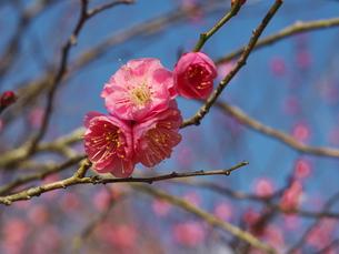 1月10日の梅の写真素材 [FYI00569351]