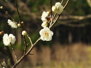 1月10日の梅の写真素材 [FYI00569352]