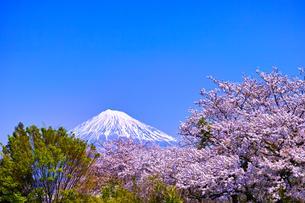 富士市 桜咲く雁堤から見た富士山の写真素材 [FYI00569384]
