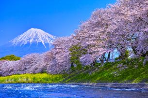富士市 桜咲く潤井川から見た富士山の写真素材 [FYI00569389]