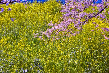 菜の花と桜の枝の写真素材 [FYI00569393]