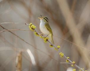 鳥の歌の写真素材 [FYI00569453]