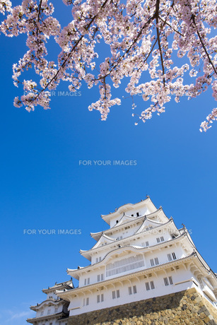 桜と姫路城の写真素材 [FYI00571564]