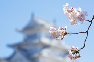 桜と姫路城の写真素材 [FYI00571568]