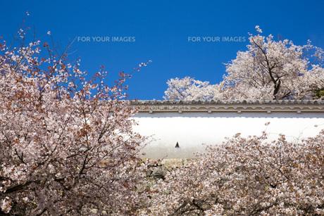 姫路城の漆喰土塀と桜の写真素材 [FYI00571570]