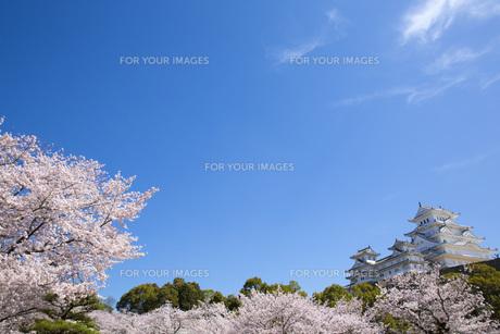 桜吹雪と姫路城の写真素材 [FYI00571573]