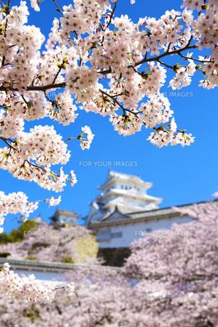 桜と姫路城の写真素材 [FYI00571578]