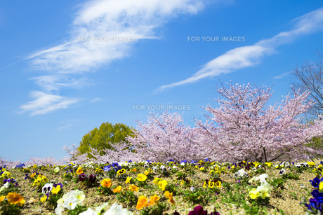 桜とお花畑の写真素材 [FYI00571579]