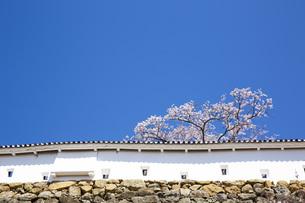 姫路城土塀と桜の写真素材 [FYI00571580]