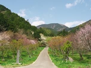 記念樹の桜の道の写真素材 [FYI00571688]