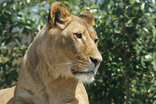 ライオンの写真素材 [FYI00571801]