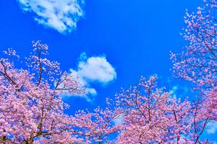桜と青空の写真素材 [FYI00571874]
