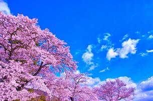 桜と青空の写真素材 [FYI00571875]