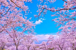 桜と青空の写真素材 [FYI00571876]