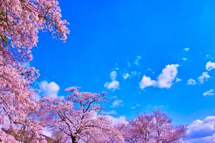桜と青空の写真素材 [FYI00571877]