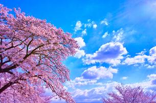 桜と青空の写真素材 [FYI00571878]