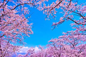 桜と青空の写真素材 [FYI00571879]